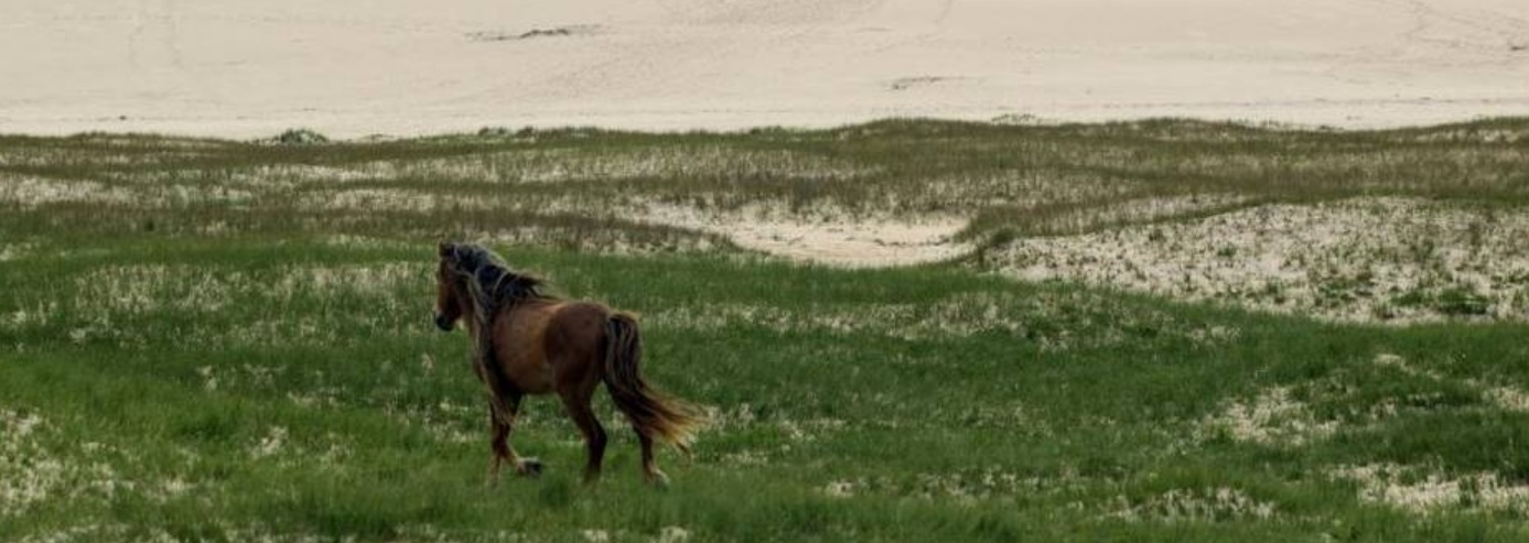 Sable Island Horses grazing on grass