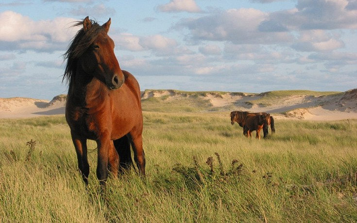 Sable island horses wild in Atlantic