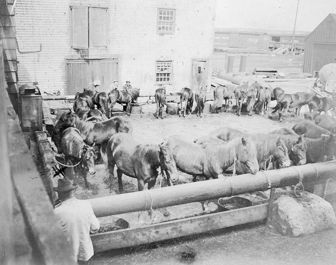 Sable island Horses being transported in the 1960