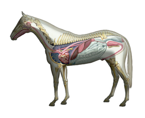 Thumbnail for OVC Offers A Guided Tour of Equine Anatomy