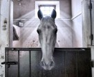 Portuguese photographer Filipa Scarpa has won the top prize in the FEI Solidarity World Photo Grand Prix for her image of Xisto, the angelic Lusitano, who has been nominated to compete at the Alltech FEI World Equestrian Games™ 2014 in Nomandy, France. Photo by Filipa Scarpa/FEI