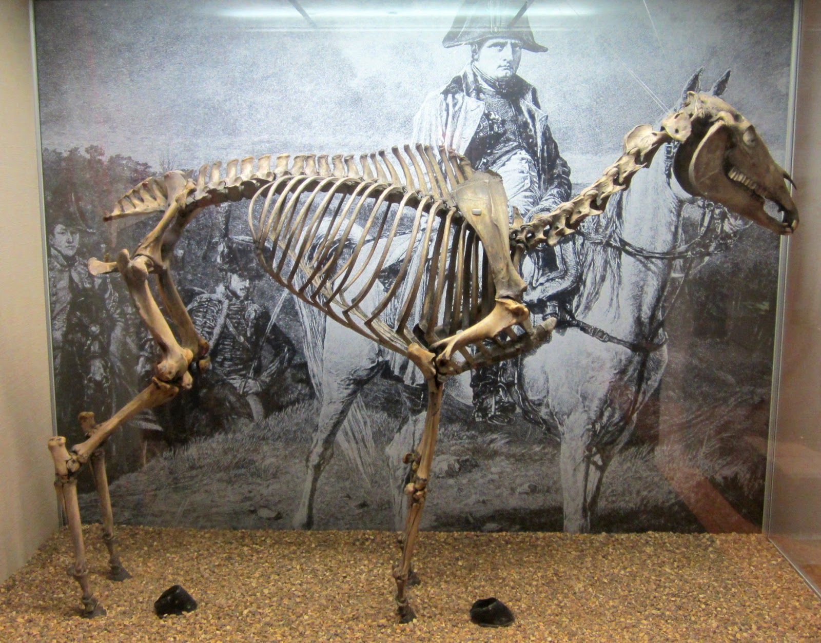 Marengo skeleton - Arabian stallion, Napoleon horse