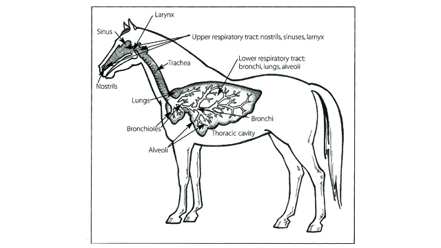 Thumbnail for Cough! Cough! Equine Respiratory Disease