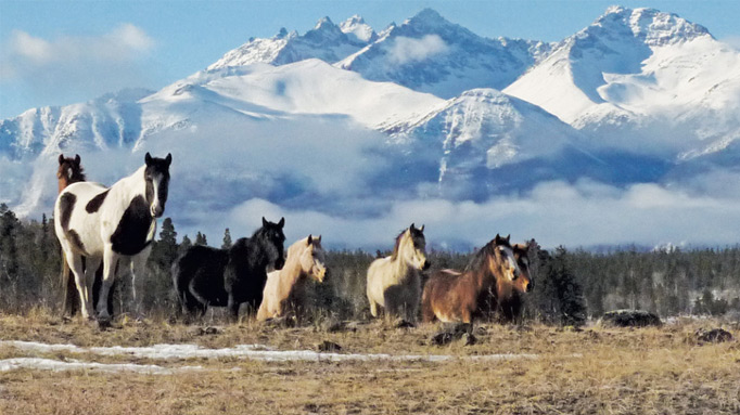 Thumbnail for Wild Horses in Canada: Pest or Precious Heritage?