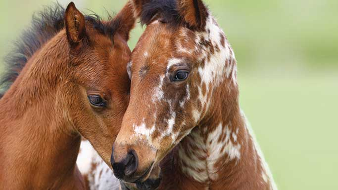 Thumbnail for Brave Horses: Are they Born or Made?