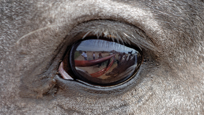 Thumbnail for Windows to the Soul: Keeping Horses Eyes Healthy