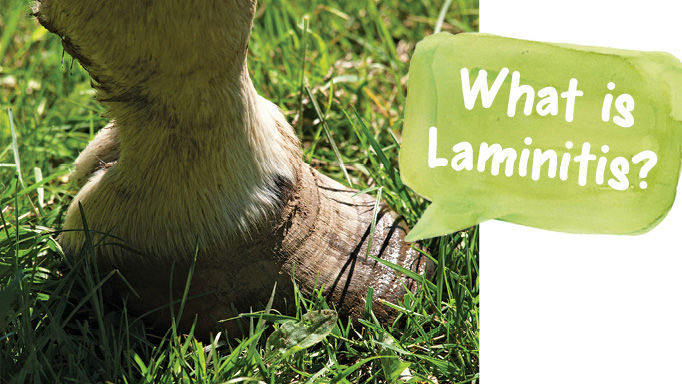 Thumbnail for What is Laminitis?