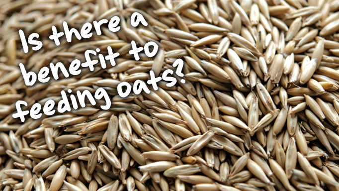 Thumbnail for Is There any Benefit to Feeding Oats?