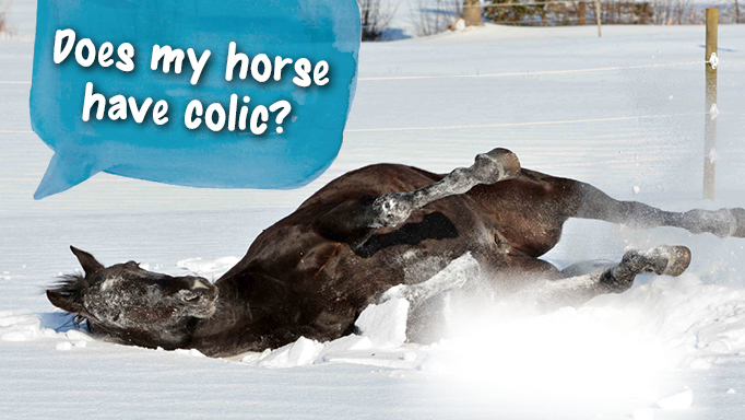 Thumbnail for Does My Horse Have Colic?