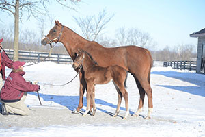 Irap, at 21 days old, with Silken Cat at Taylor Made Farm. Photo courtesy Laura Donnell/Taylor Made