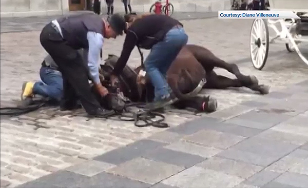 Thumbnail for Ban on Calèche Industry Sought After Another Horse Collapse