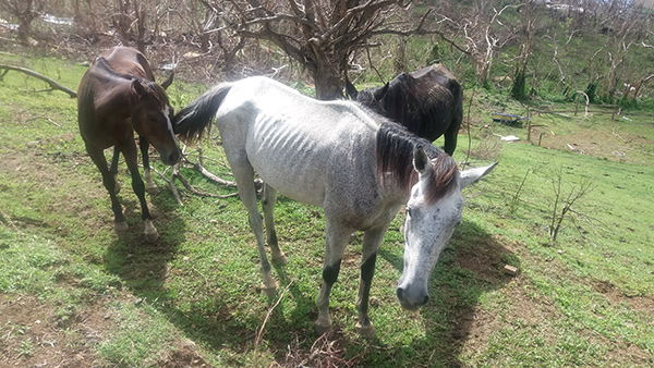 Thumbnail for Horses in the Caribbean Still Need Your Help