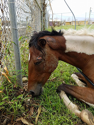 Horses, like this one in St Croix, suffered colic from contaminated water and lack of feed.