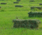 Teff hay is typically less than 10% non-structural carbohydrate on an as fed basis.