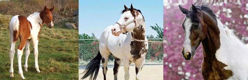 colour patterns on American Paint Horses