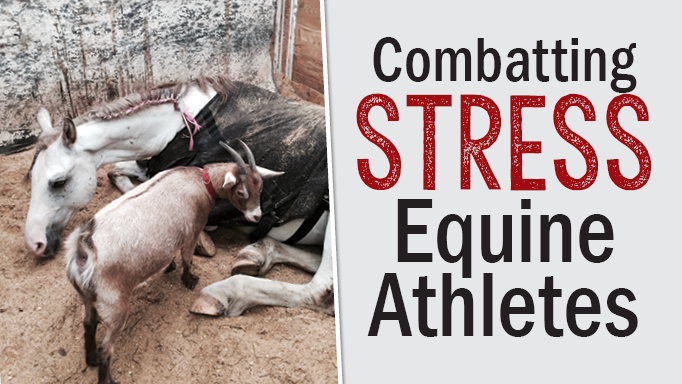 Thumbnail for Combating Stress in Equine Athletes