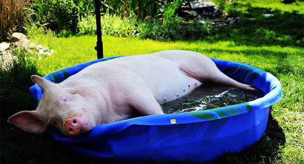 Thumbnail for Esther the Wonder Pig Helps Raise Funds for Large Animal CT Scanner