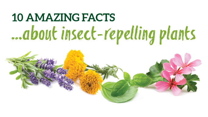 Thumbnail for 10 Insect Repelling Plants