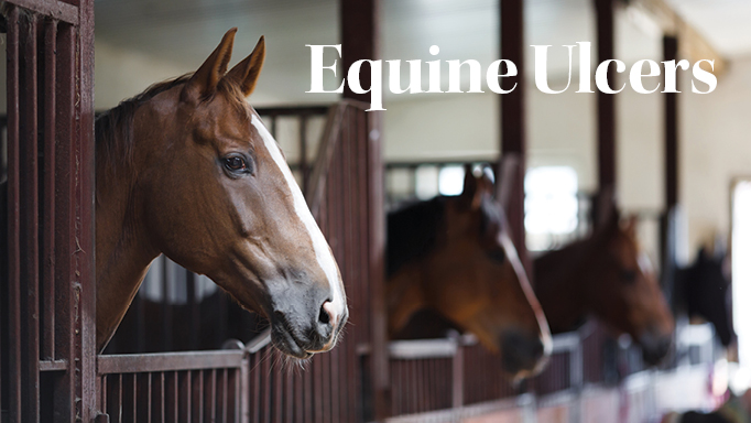 Thumbnail for Equine Gastric and Colonic Ulcers