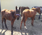 abuse Investigators discovered neglected horses starving on the property being rented by SpeedSport Stables.