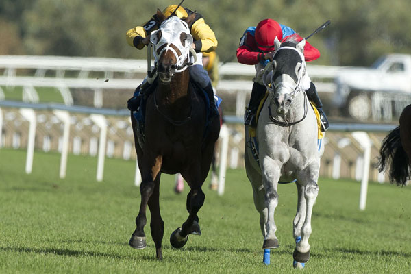 Tesserson (inside grey horse) battling Major Production in the final leg of the 2017 Turf Endurance Series on October 22, 2017 at Woodbine. Michael Burns Photo