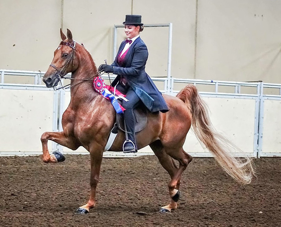 American Saddlebred horse breed - peacock of the horse show