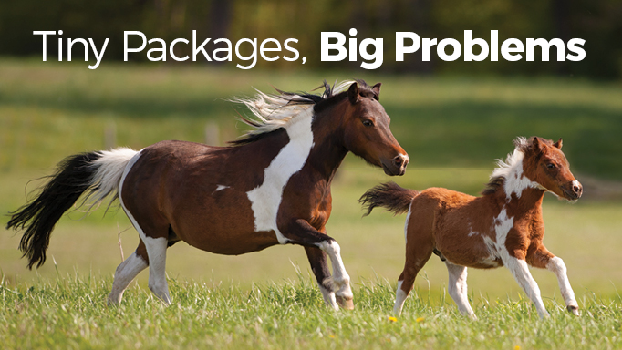 Miniature Horses: Tiny Packages, Big Health ProblemsHorse Canada