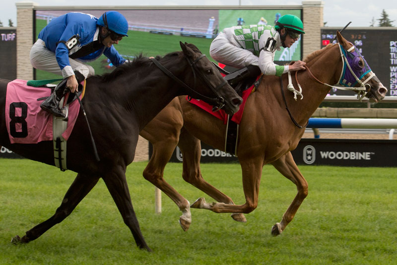 Artistico winning the third leg of the Turf Endurance Series on September 9 at Woodbine Racetrack. Michael Burns Photo