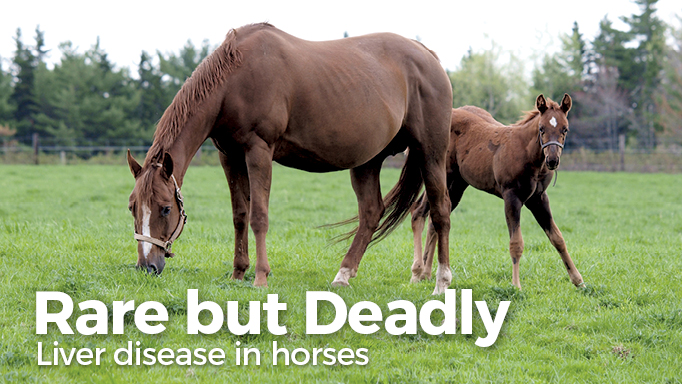 Thumbnail for Liver Disease in Horses