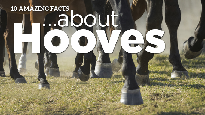 Thumbnail for 10 Amazing Facts About Hooves