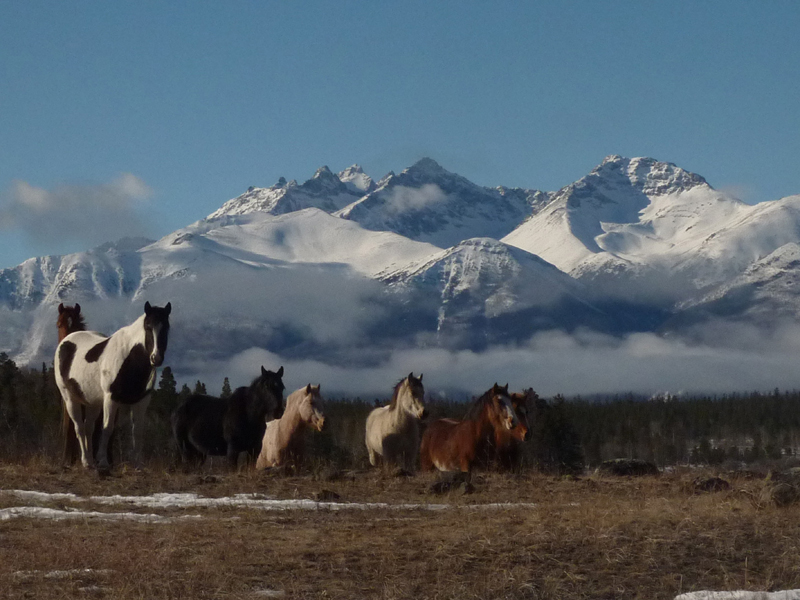 Thumbnail for Survey of Wild Horse Population Planned in British Columbia