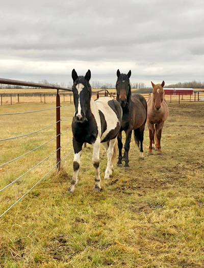 Curious and alert, the mustangs begin to follow me around their pen.