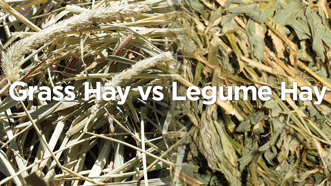 Thumbnail for Equine Nutrition Basics: Grass Hay vs Legume Hay