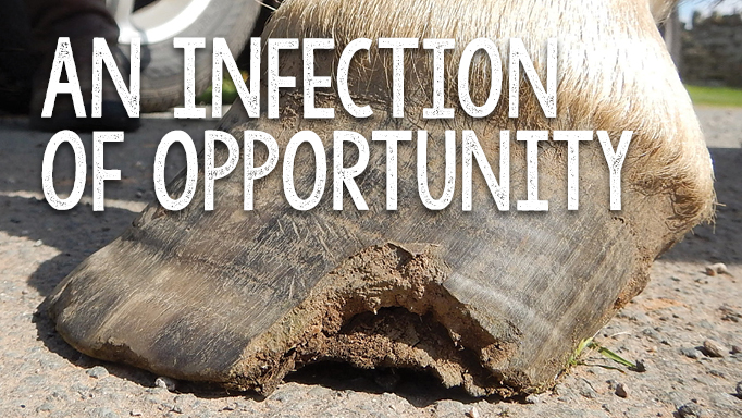 Thumbnail for White Line Disease: An Infection of Opportunity