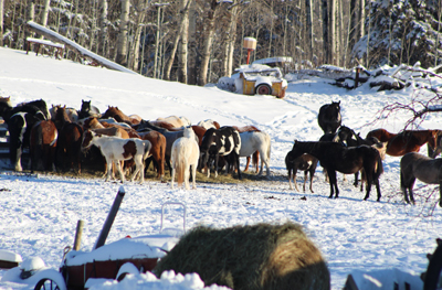 Sixty-five horses were removed from the property. Photo by Brenda Belanger