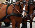 The Montreal SPCA has partnered with the City of Montreal to provide assistance to horse-drawn carriage owners when the industry becomes illegal in December.