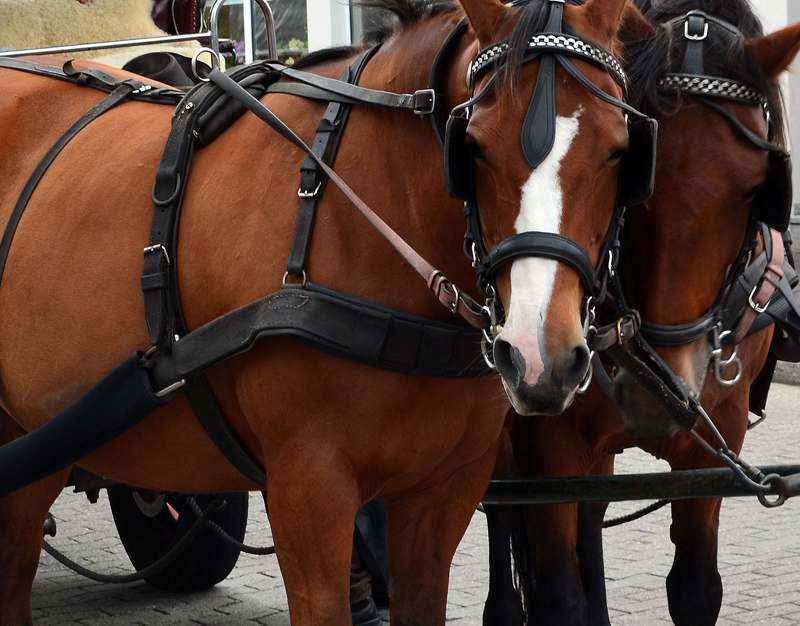 Thumbnail for Montreal Carriage Owners Offered Compensation for Horses