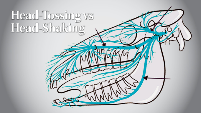 Thumbnail for The Difference Between Head-Tossing and Head-Shaking in Horses