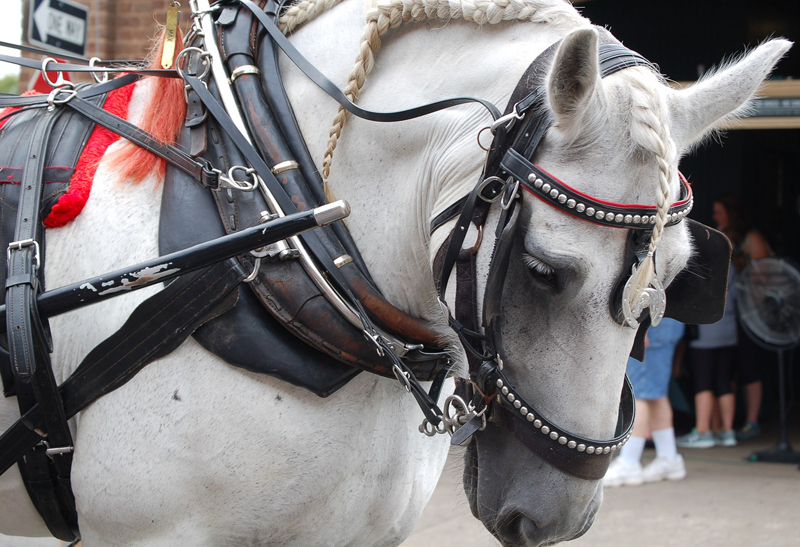 Thumbnail for Victoria Council Backs Off Proposed Horse-Drawn Carriage Ban