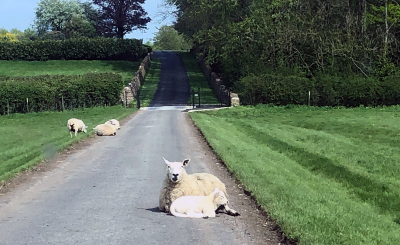 Spotted on trail in England: a farm where the sheep rule!