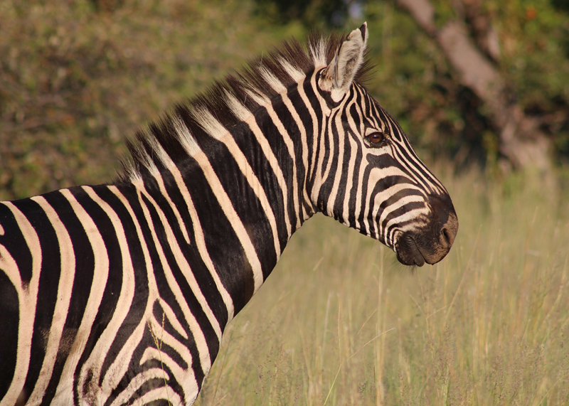 New research indicates that zebras' stripes are used to control body temperature.