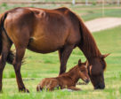 Canadian researchers are investigating the exposure rate of the parasite Neospora caninum and its potential link to equine abortions.