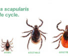 The life cycle of the blacklegged (or deer) tick (shown ~5x life size), Ixodes scapularis.