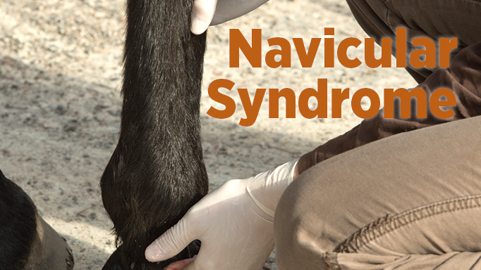 Thumbnail for The Latest Views on Navicular Syndrome in Horses