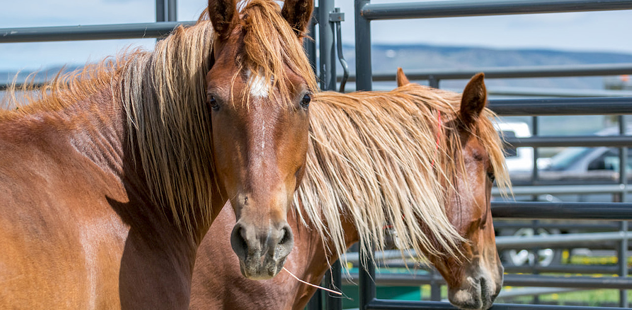 BLM's Attempts to Solve the U.S. Wild Horse Problem