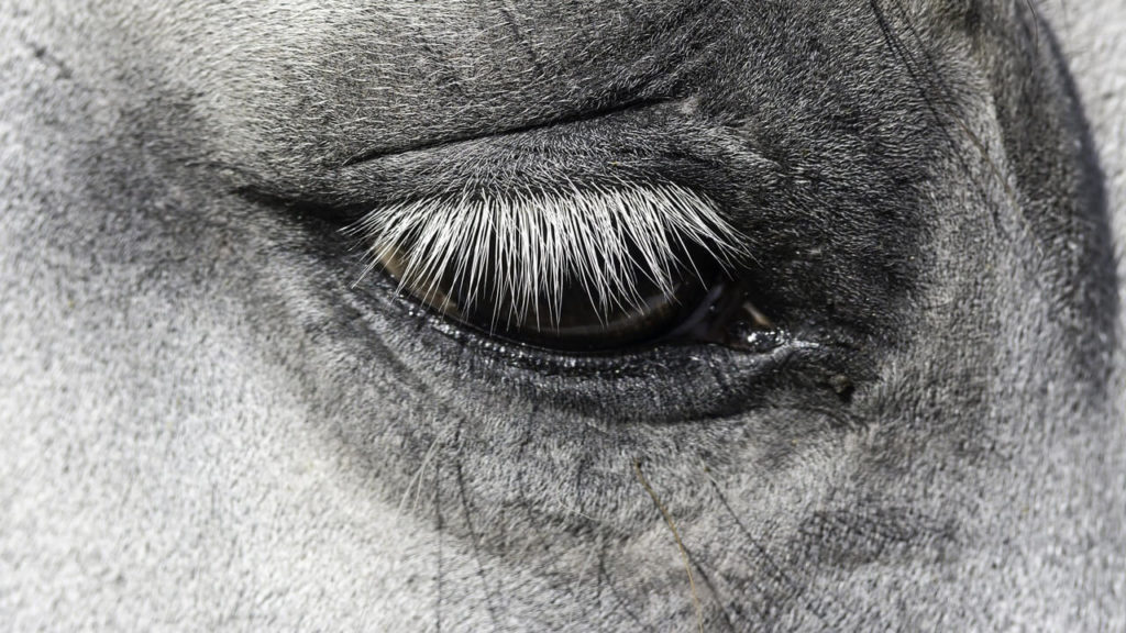 How can you tell when a horse is feeling stressed? It's all in the eyes and the way their eyelids twitch, University of Guelph researchers have discovered.