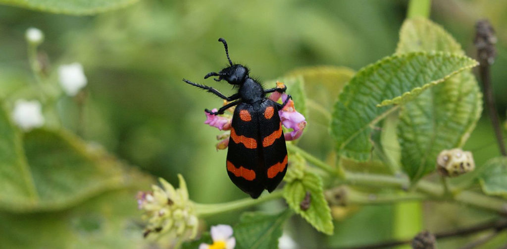 Blister beetles contain a toxin that can make horses sick and even kill them, so it's very important to inspect your hay for them before feeding it.