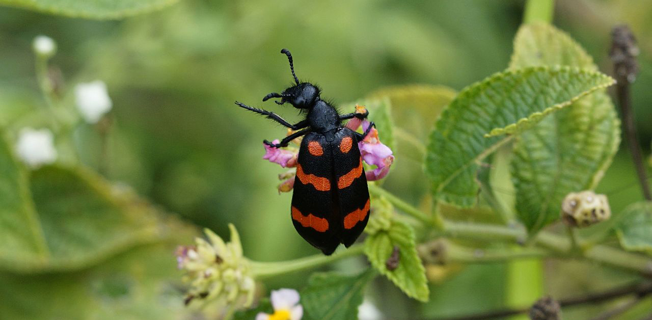 Beware of Toxic Blister Beetles in Your Horse's Alfalfa Hay