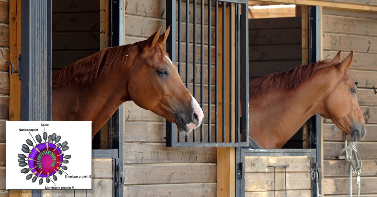 Thumbnail for Equine Coronavirus and COVID-19 are NOT the same disease