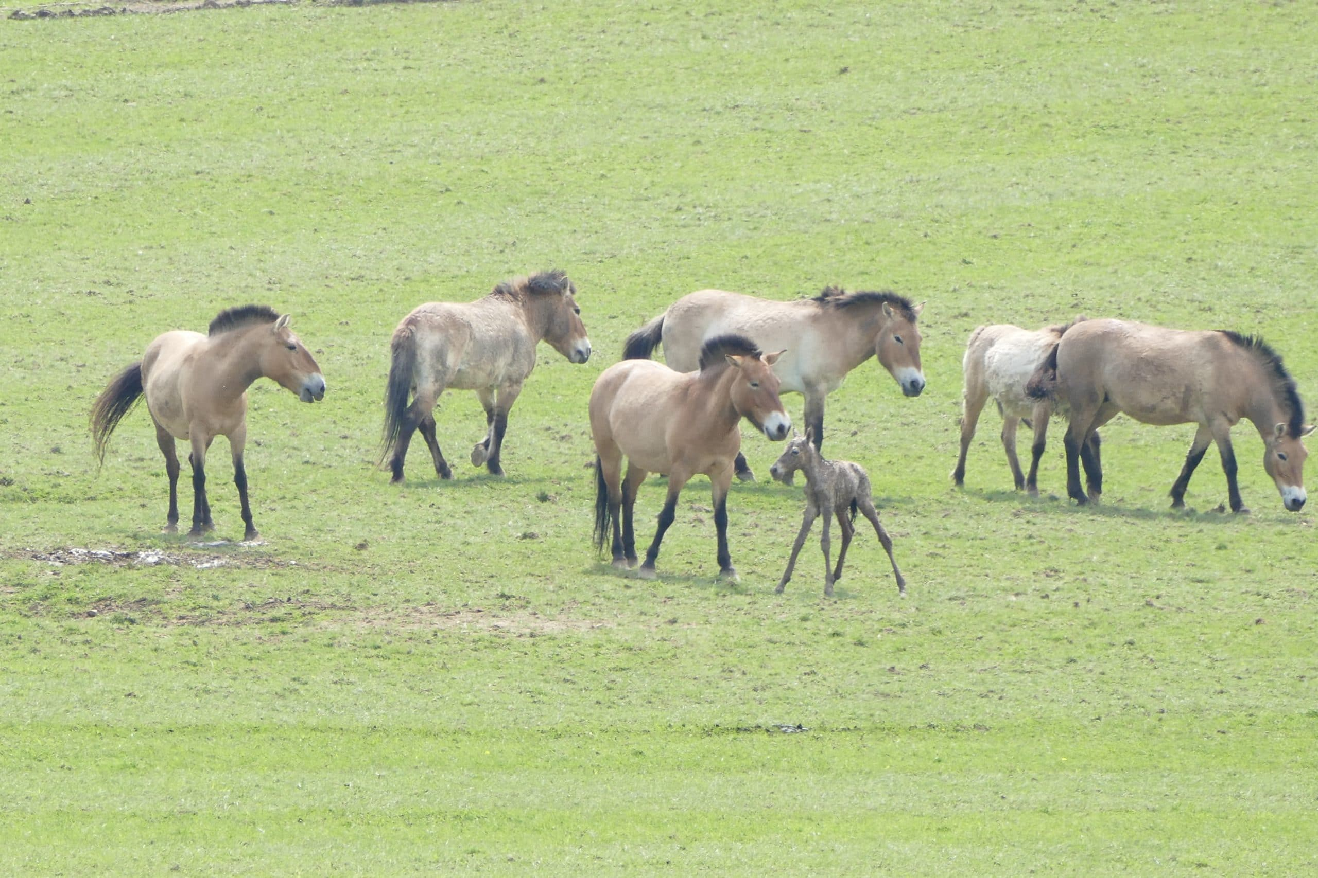 The 'domestic horses' of Botai were in fact the wild Przewalski's horse. (Olaf Janssen/Pixabay)